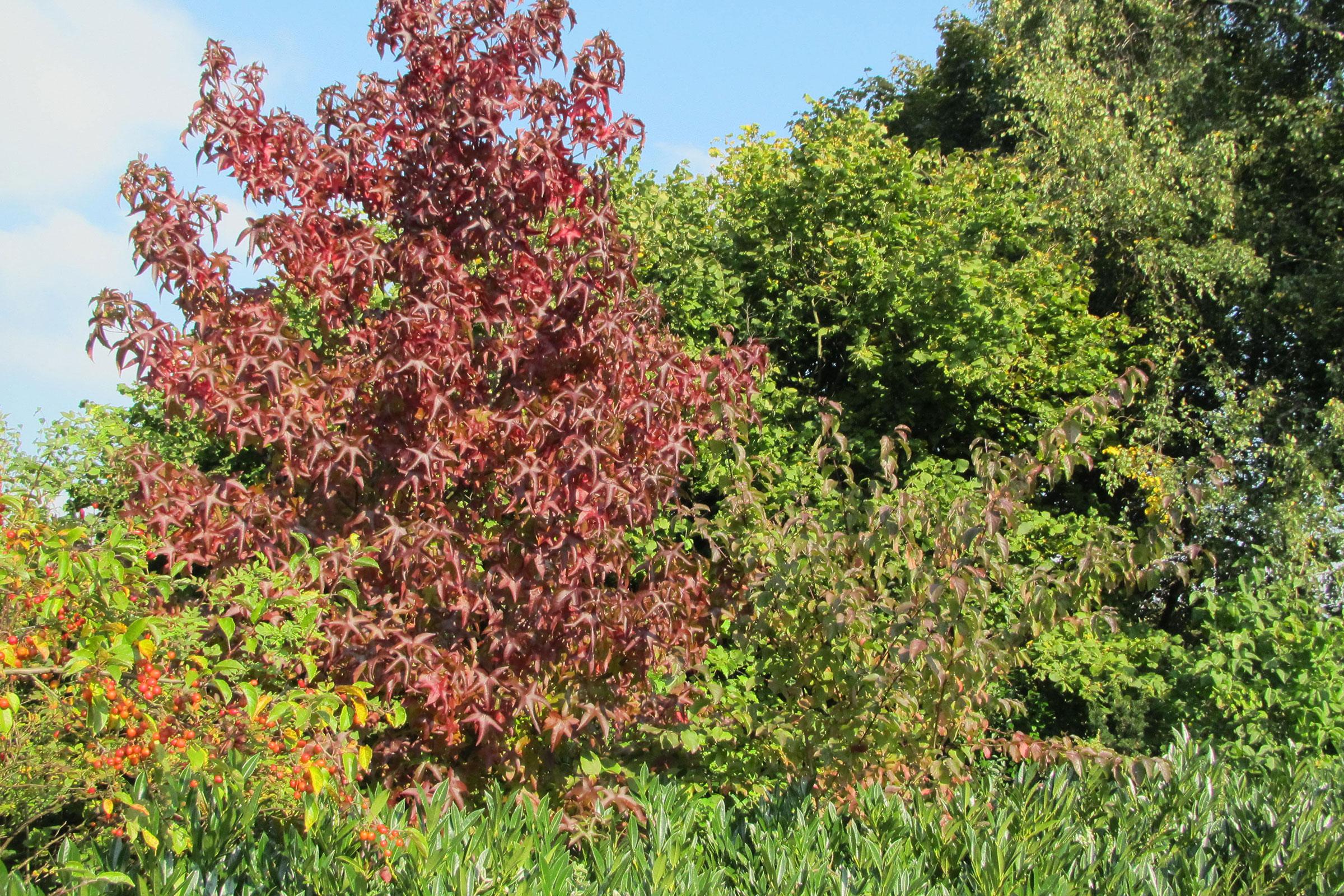 Amerikanischer Amberbaum im Herbst