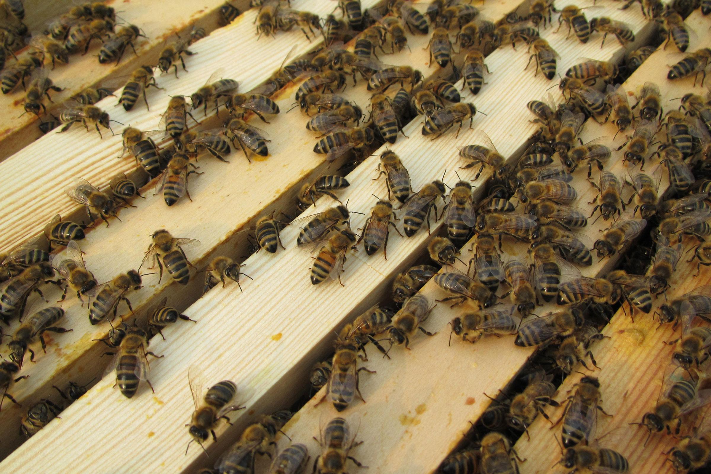 Unsere Buckfast-Bienen im Bienenhort Suderwich