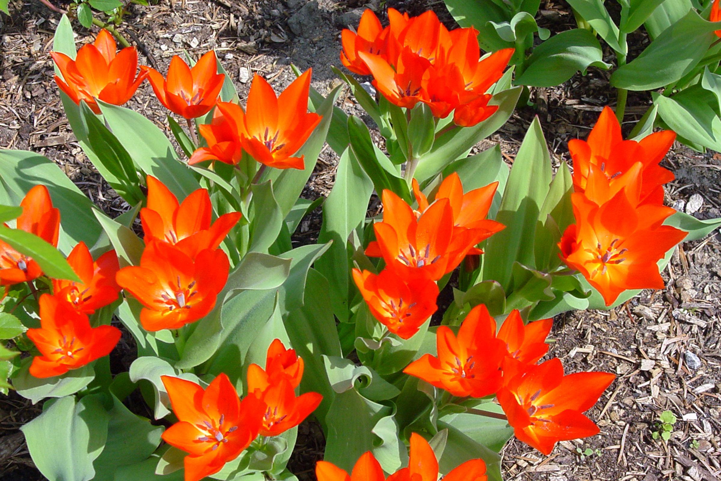 Wildtulpe im Frühling