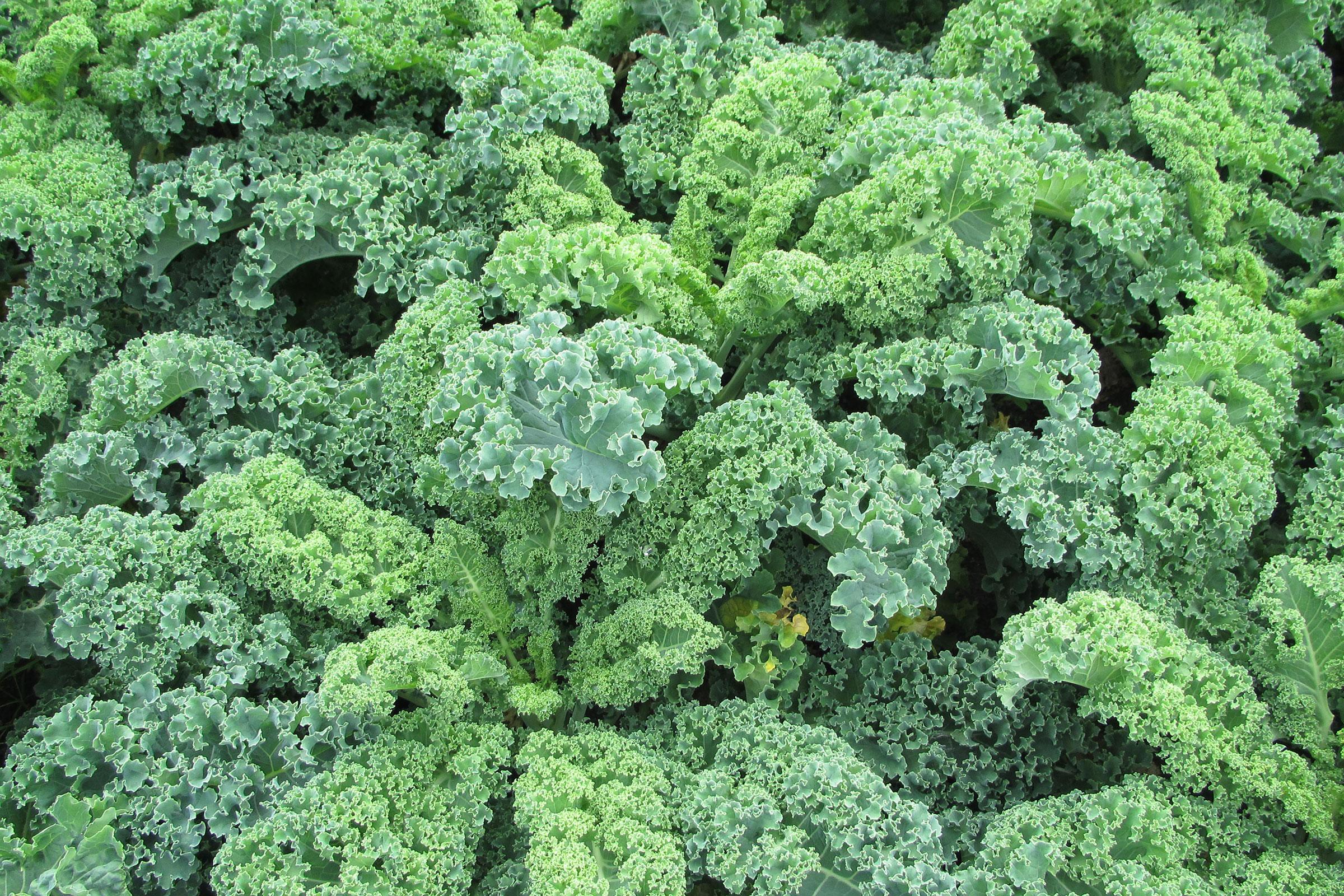 Gemüsegarten mit Grünkohl