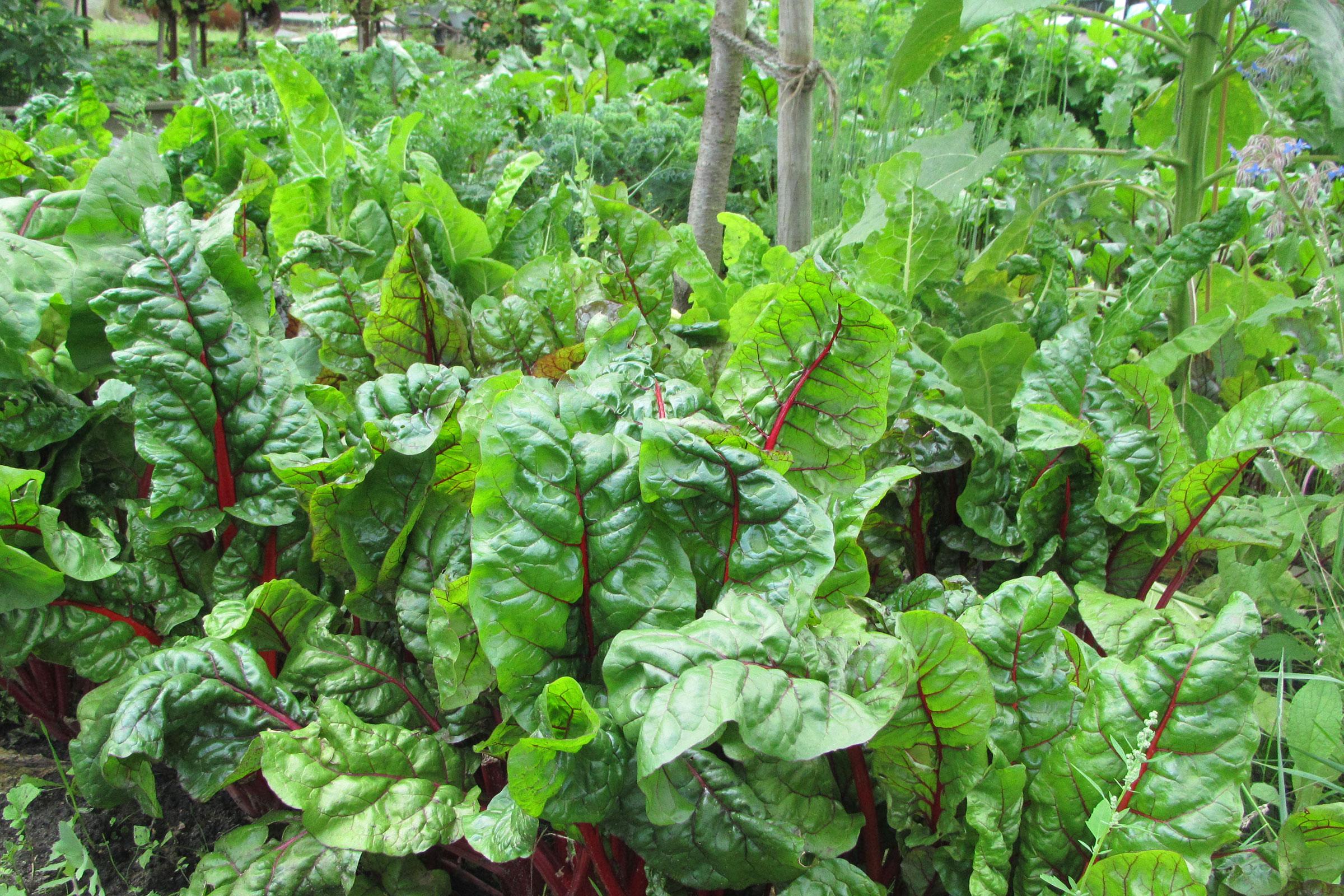 Gemüsegarten mit Mangold