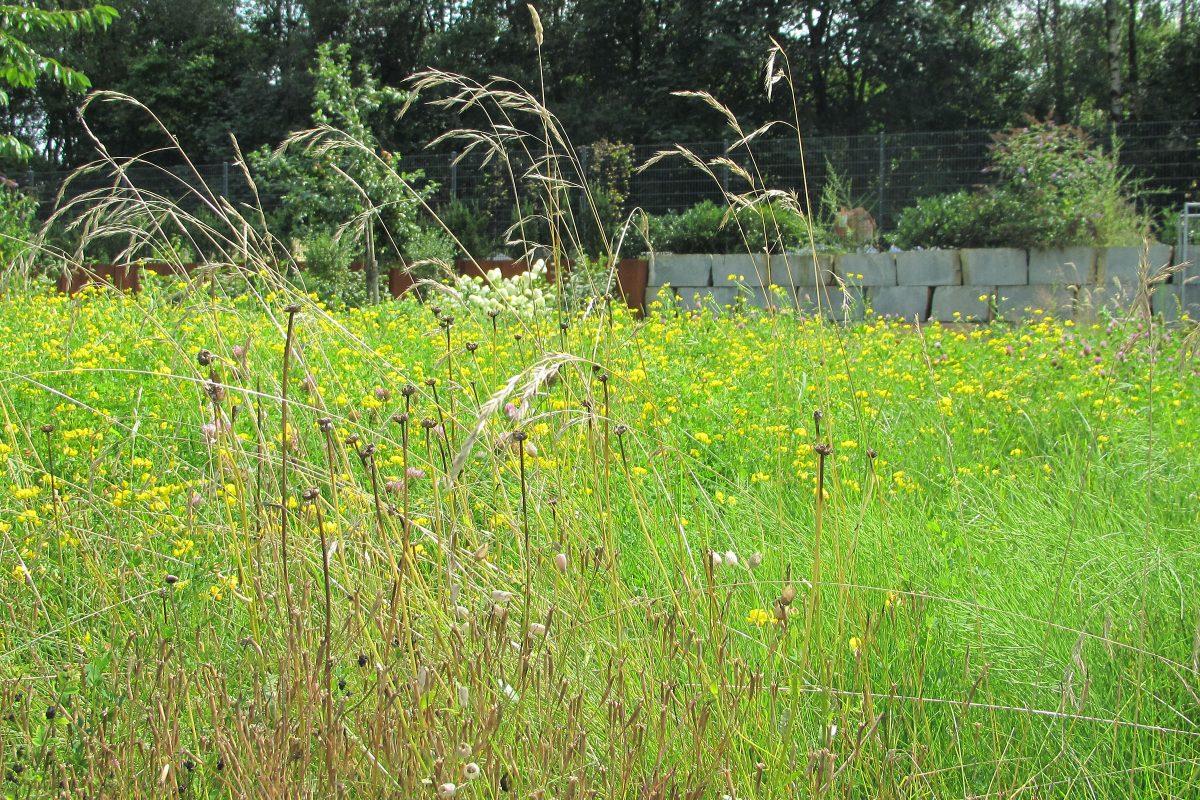 Blumenwiese mit Hornklee