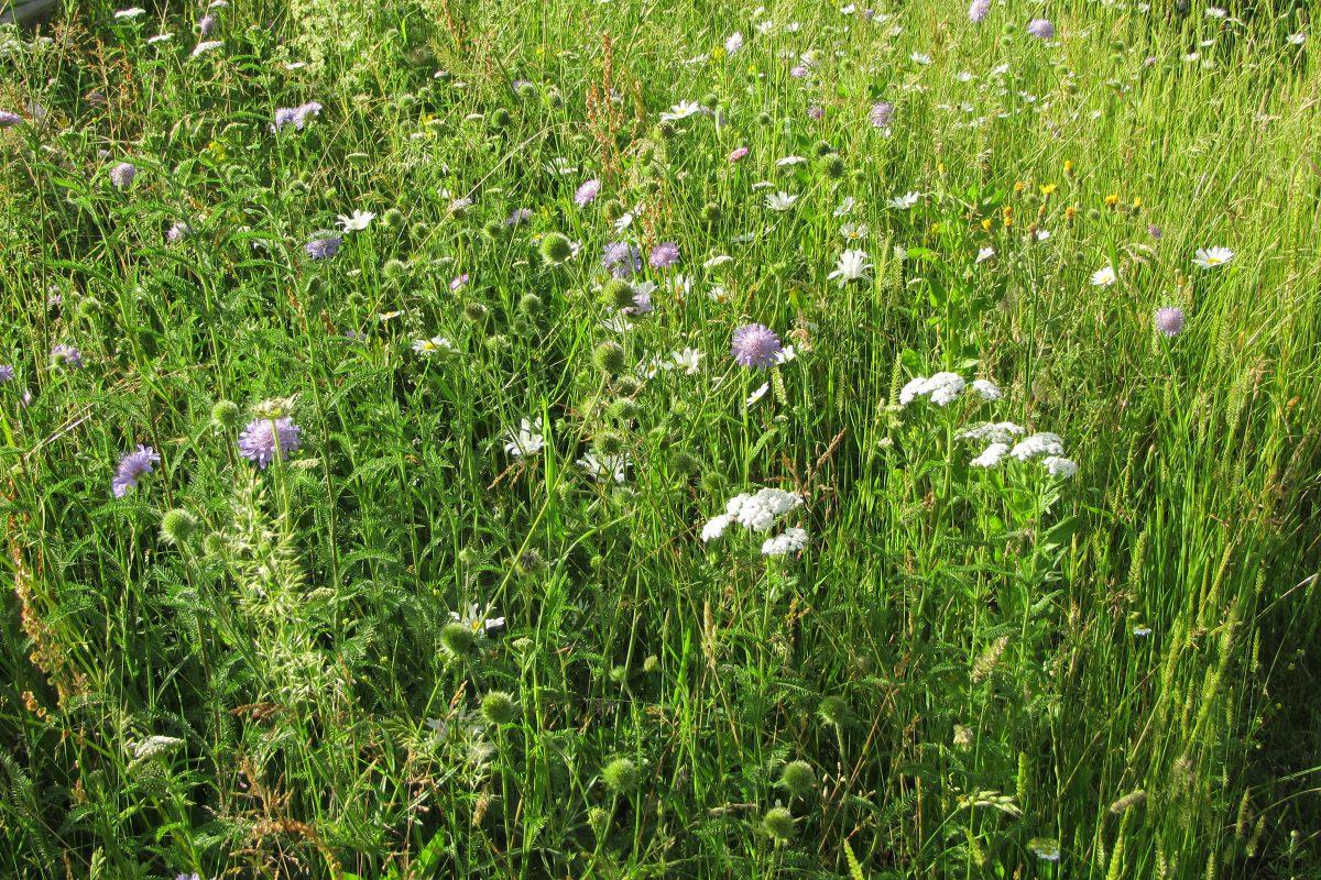 Blumenwiese mit Wiesenwitwenblume