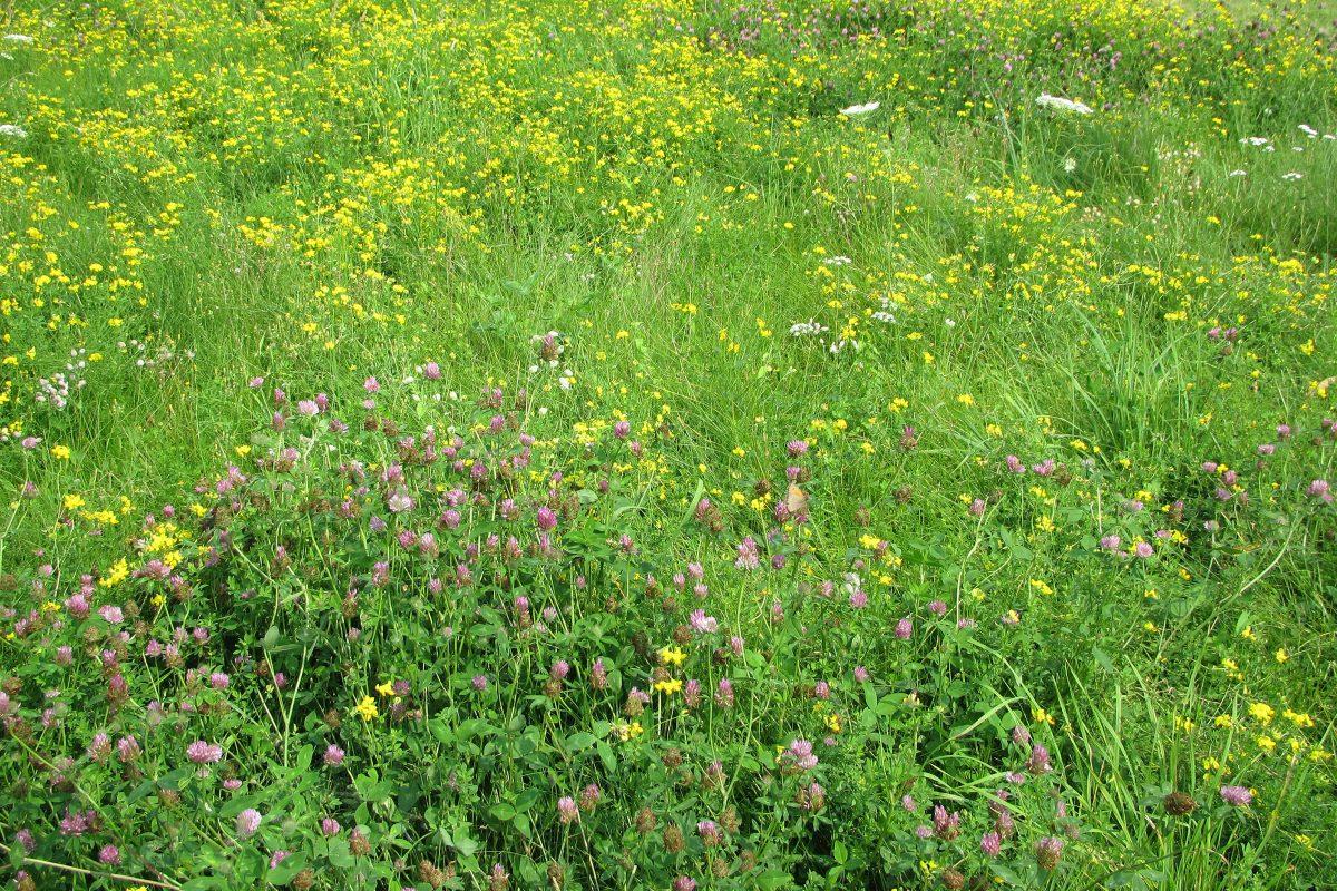 Blumenwiese mit Rotklee