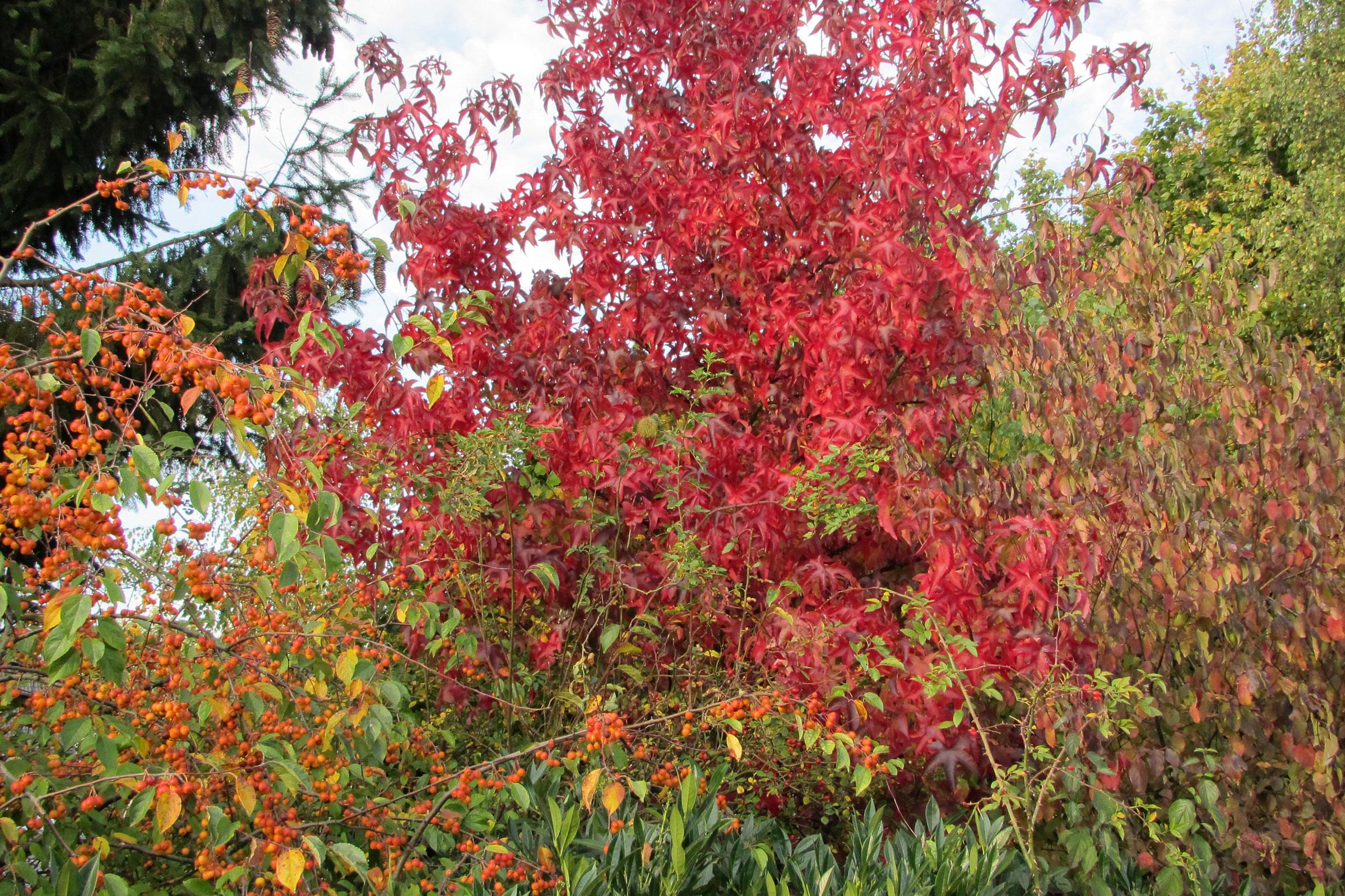Amerikanischer Amberbaum Liquidamber Styraciflua im Herbst