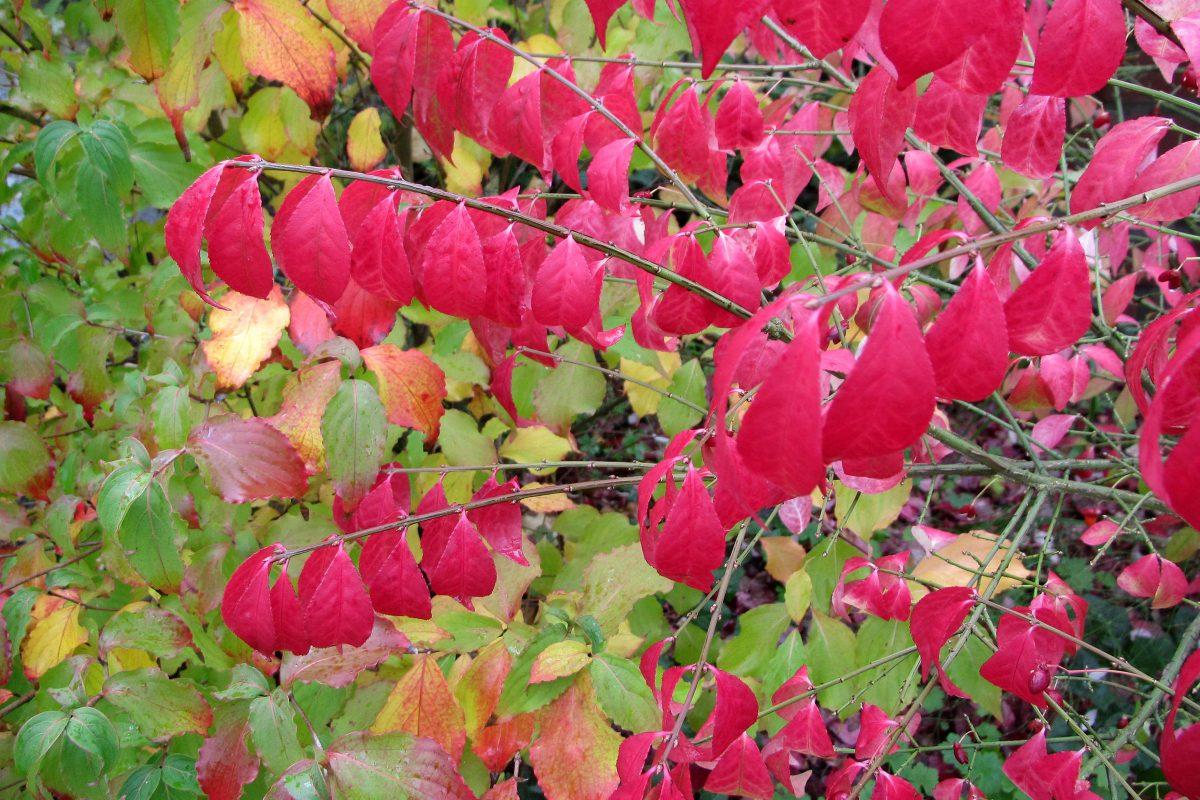 Korkflügelstrauch im Herbst