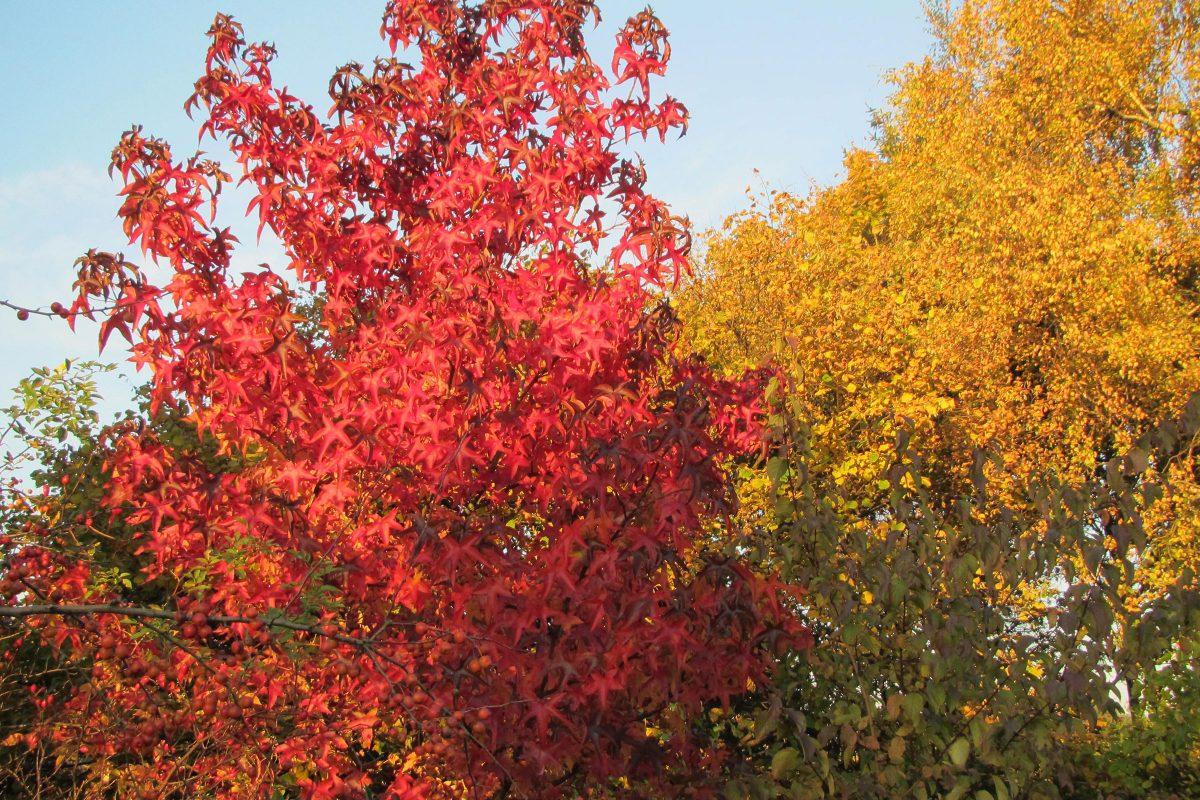 Amberbaum im Herbst