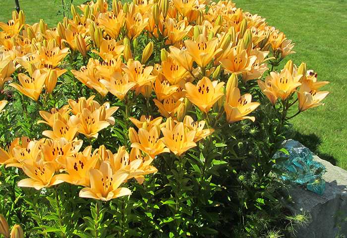 Lilie im Frühling