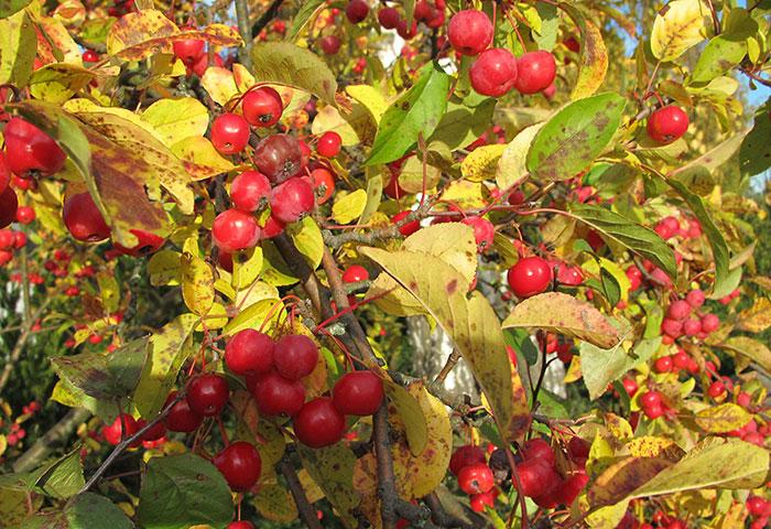 Zierapfel im Herbst