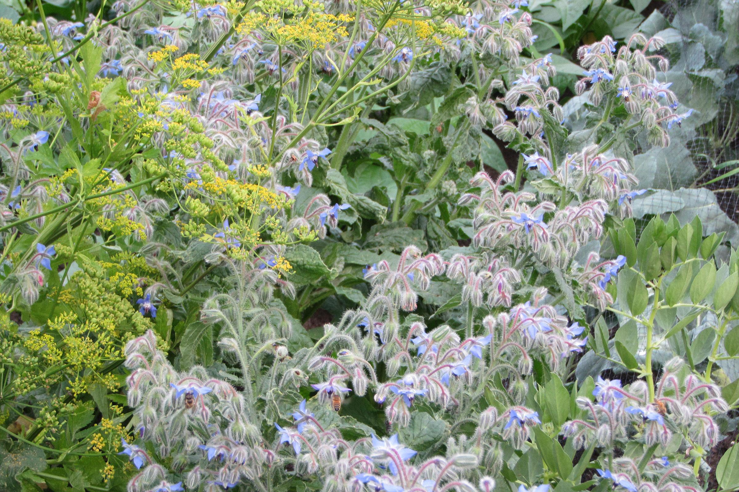 Kräutergarten mit Dill und Borretsch