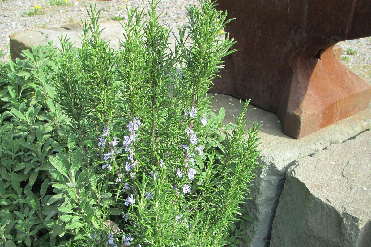 Rosmarin und Salbei im Steingarten