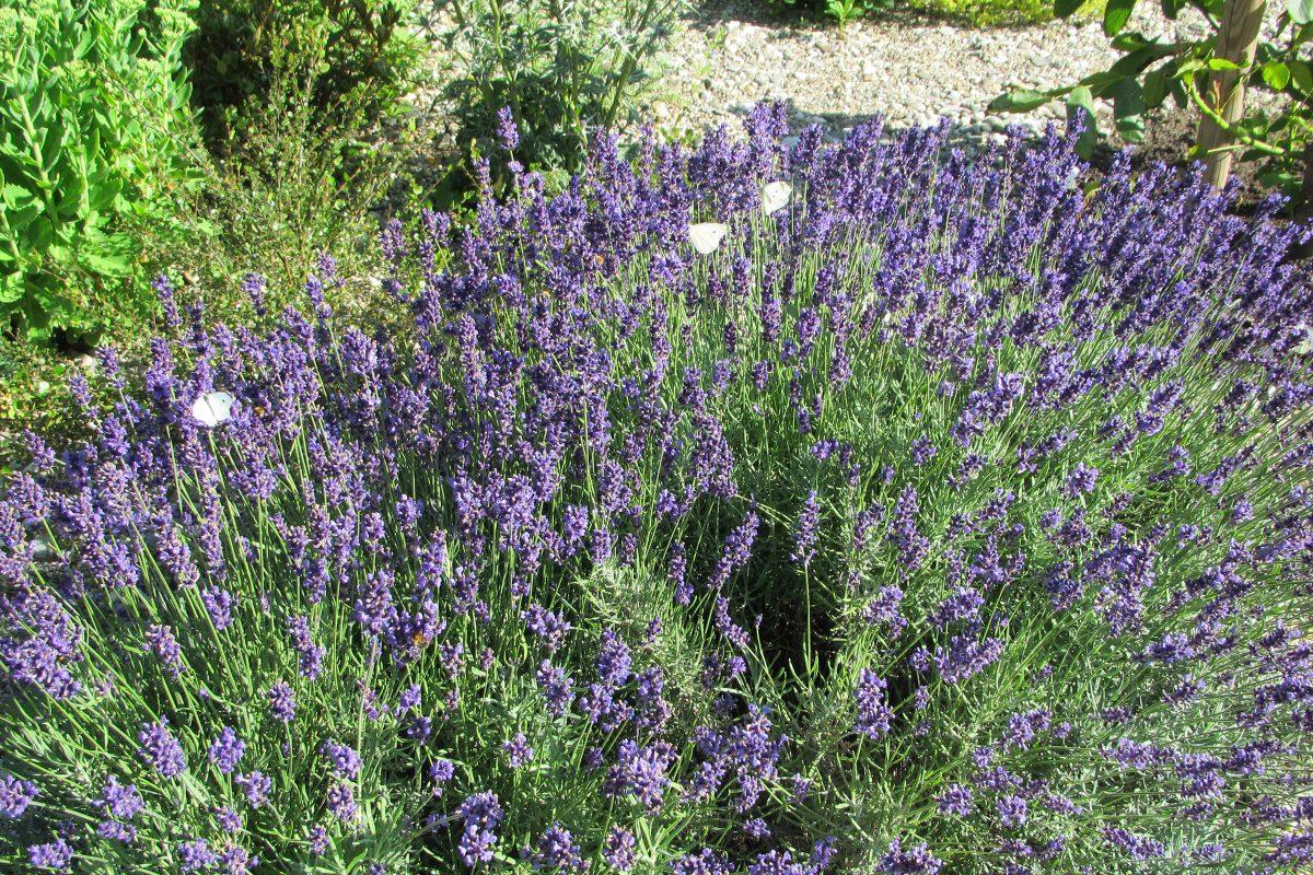 Lavendel im Steingarten