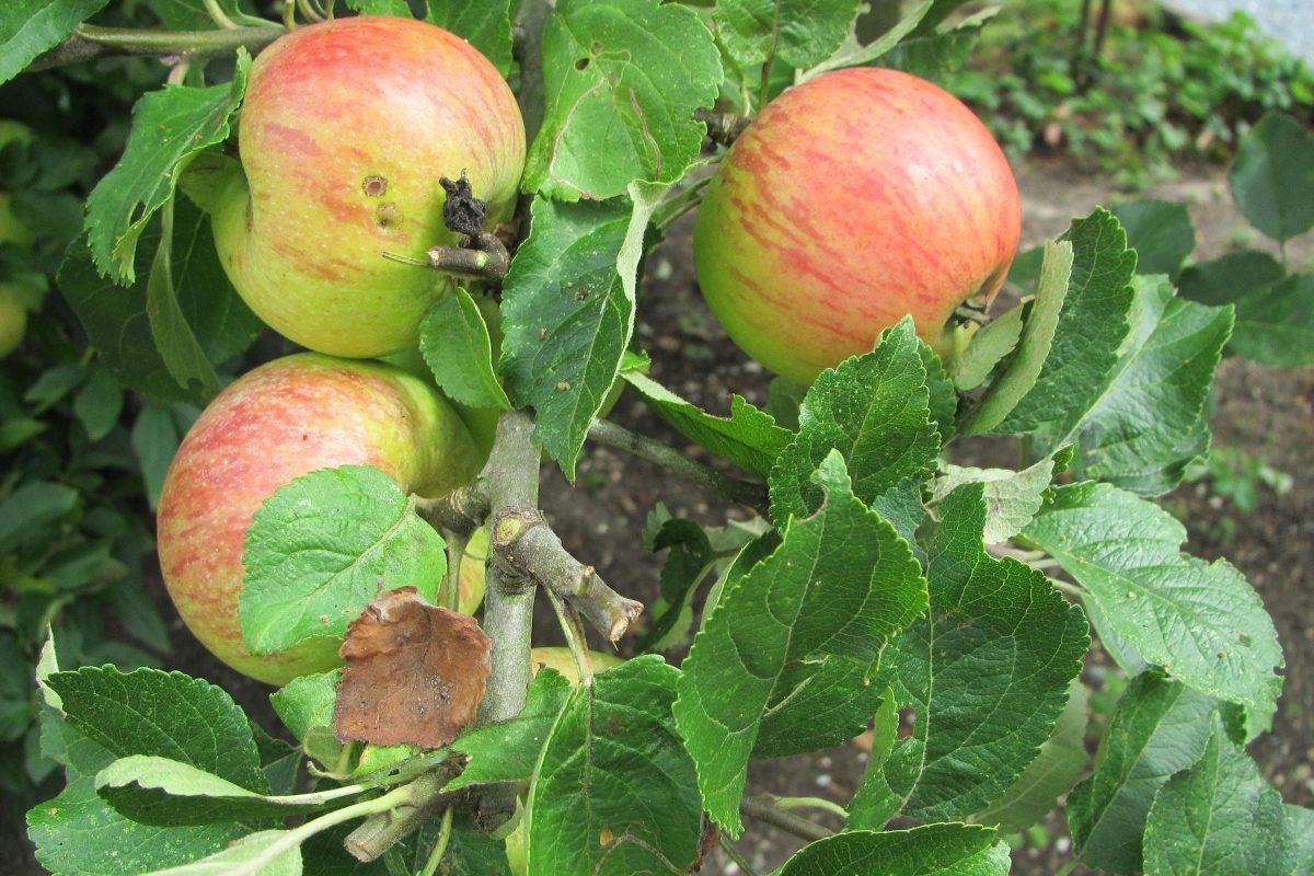 Alte Apfelsorte Alkmene