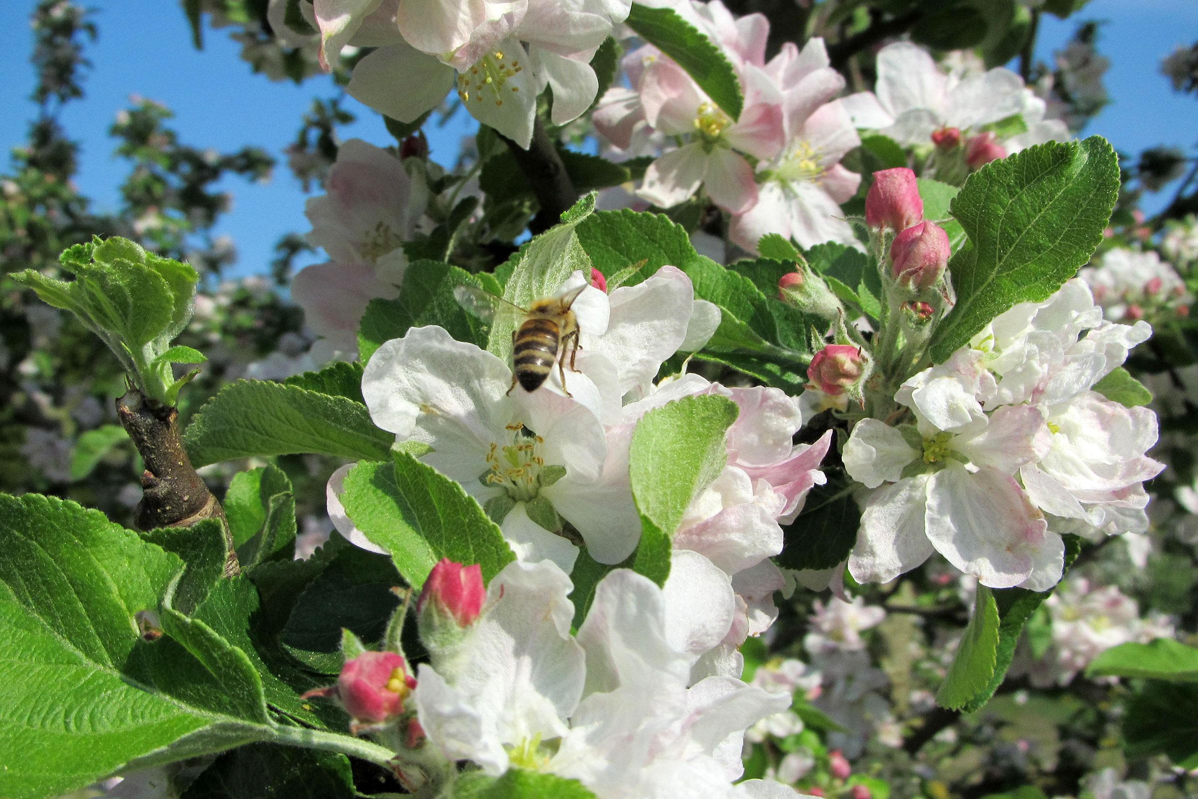Obstgarten mit blühemdem Apfelbaum