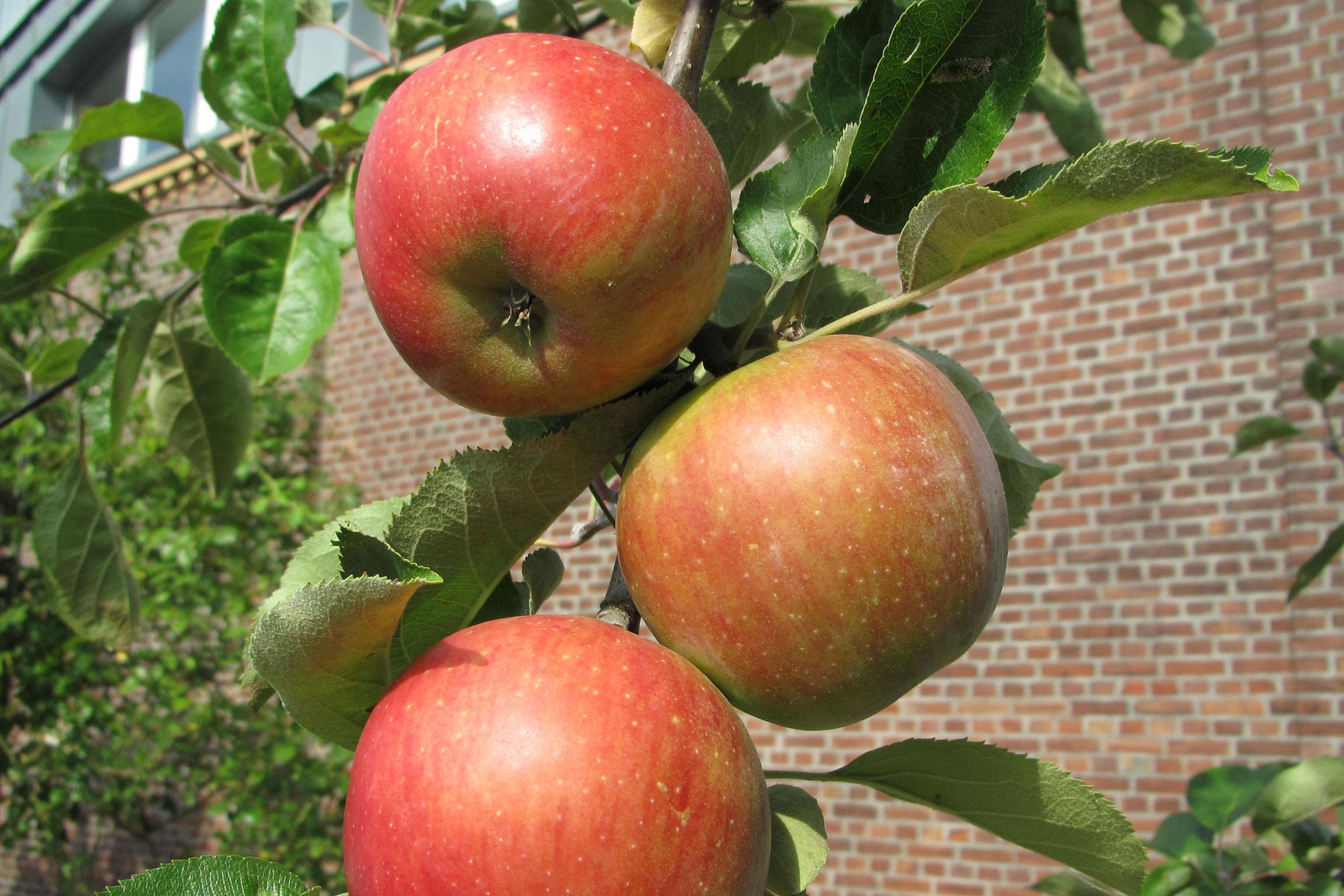 Obstgarten mit Apfelsorte Roter Eiserapfel