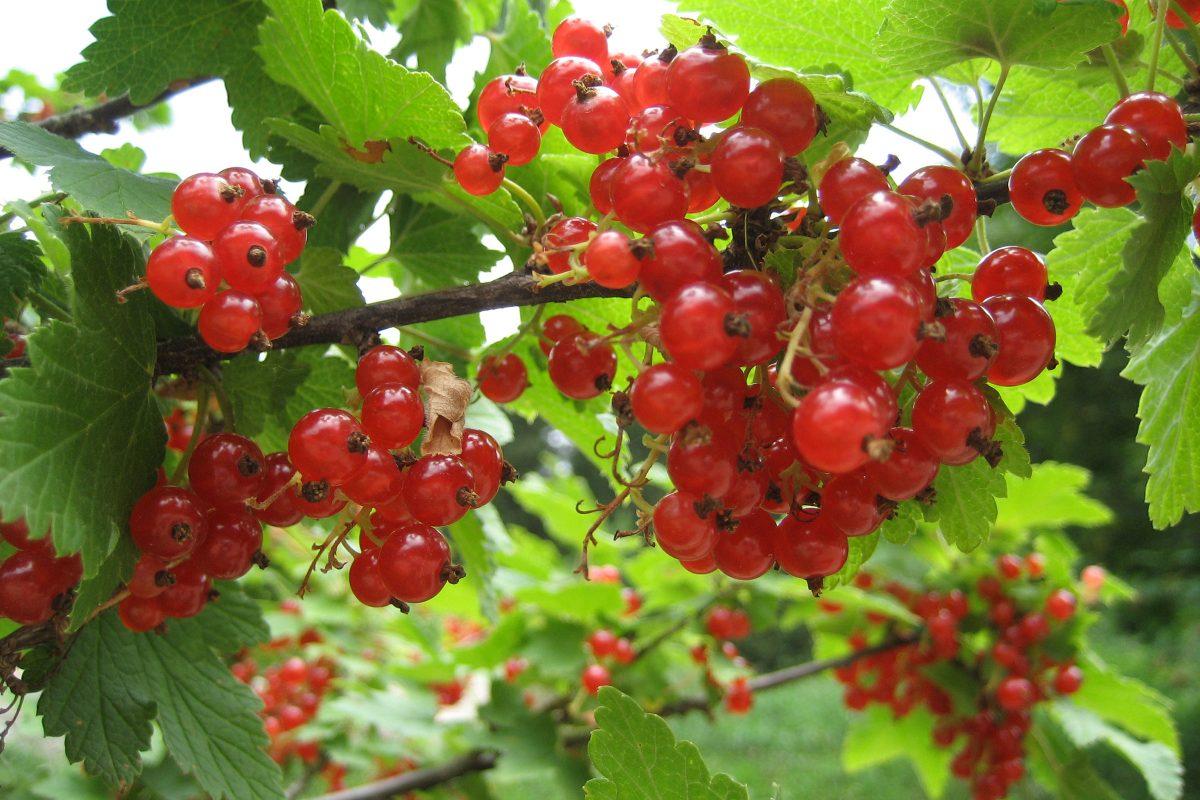 Obstgarten mit Roter Johannisbeere
