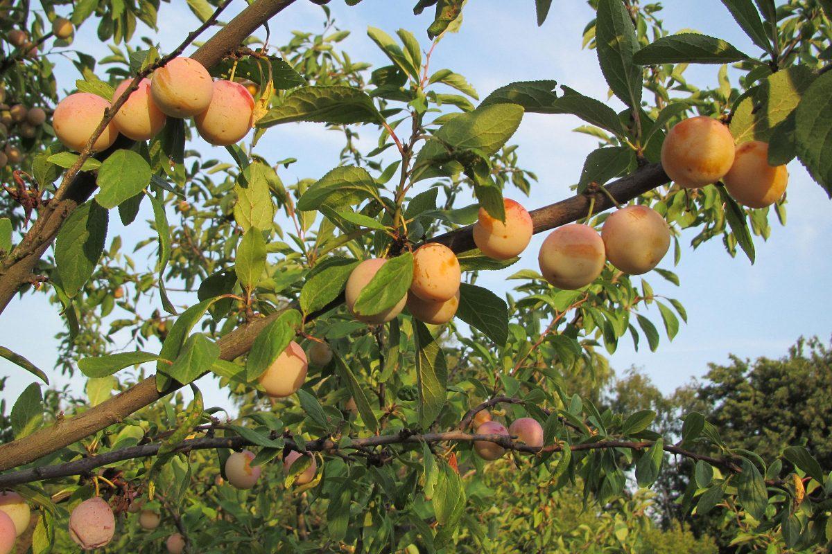 Obstgarten mit Mirabelle