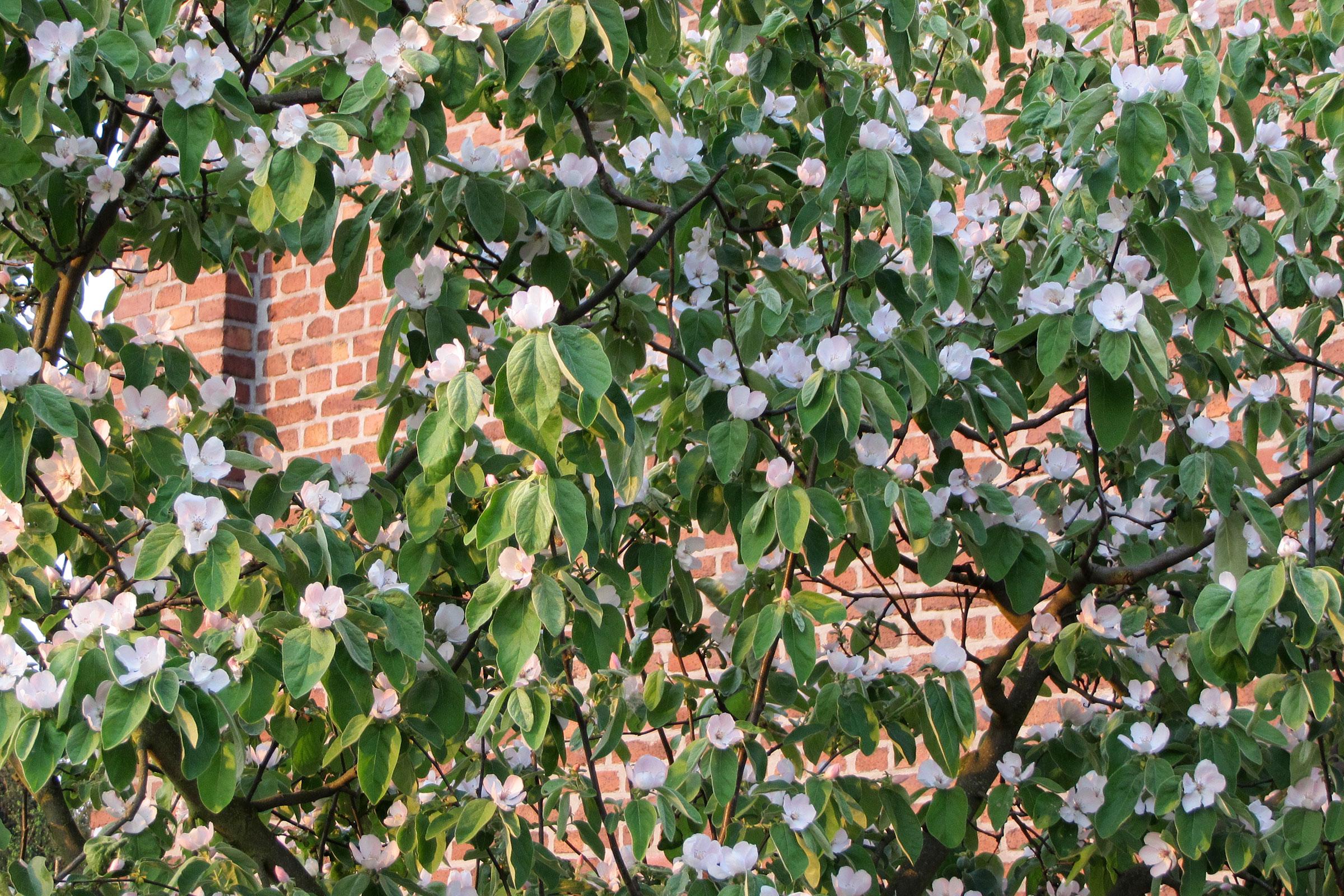 Obstgarten mit blühender Quitte