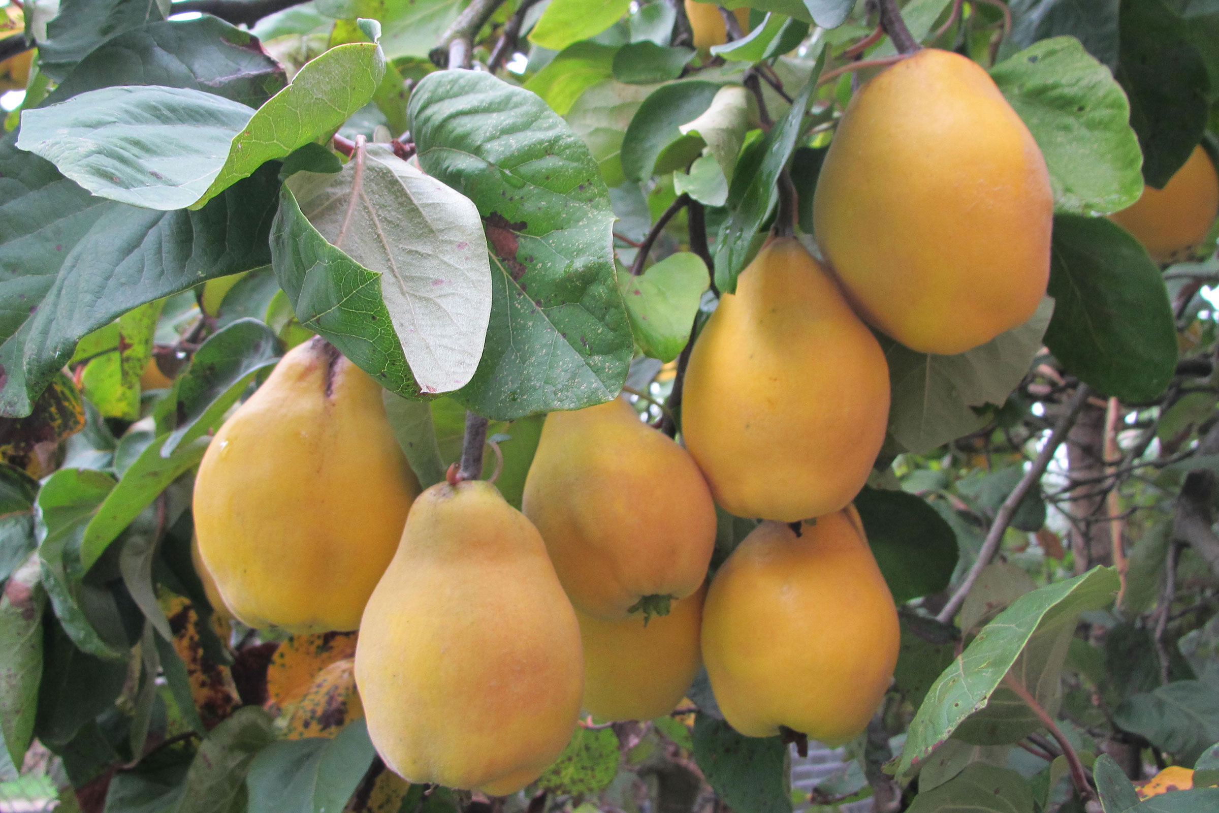 Obstgarten mit Quitten