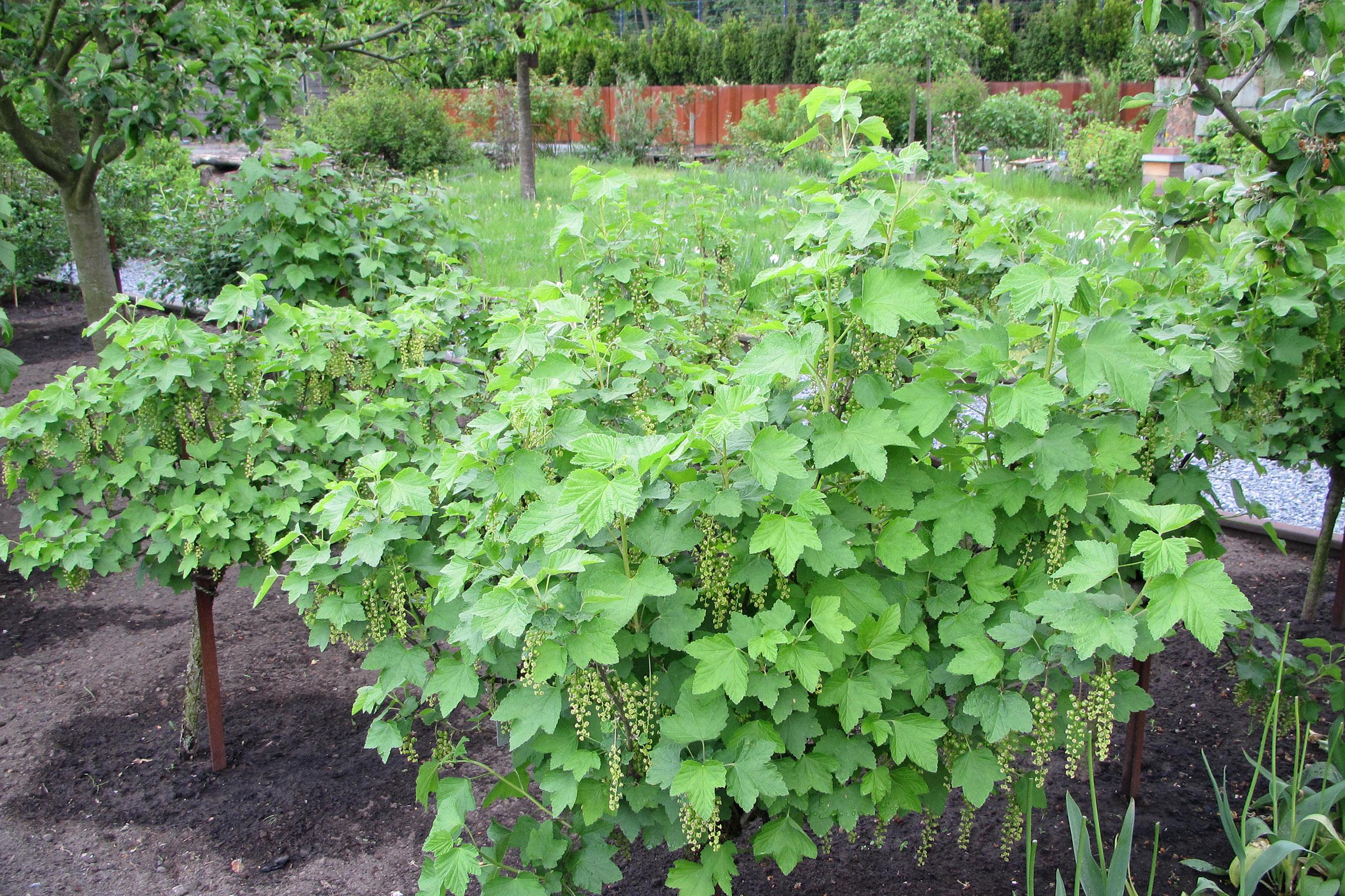 Obstgarten mit Beerensträuchern