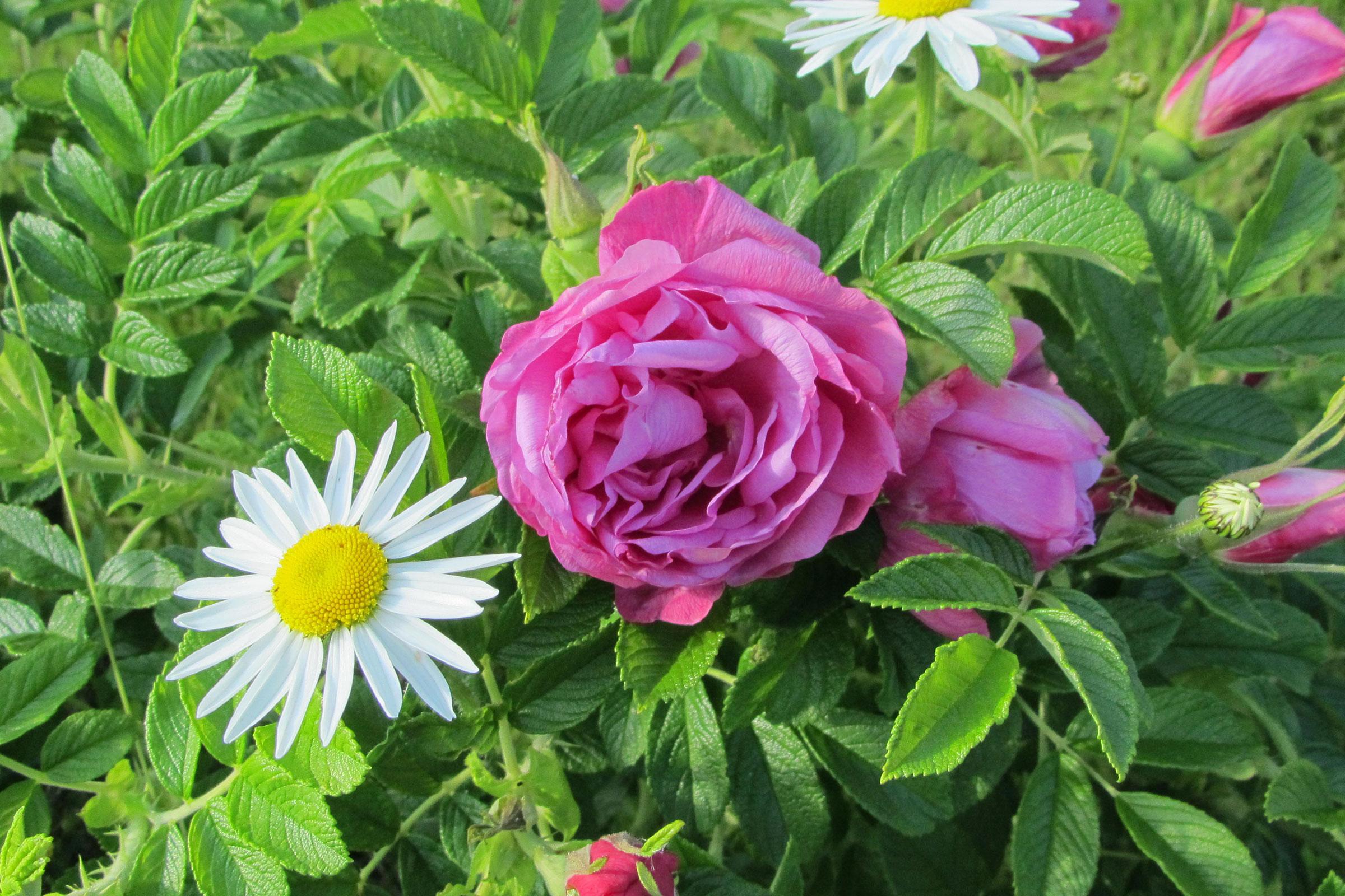 Apfelrose Rosa rugosa