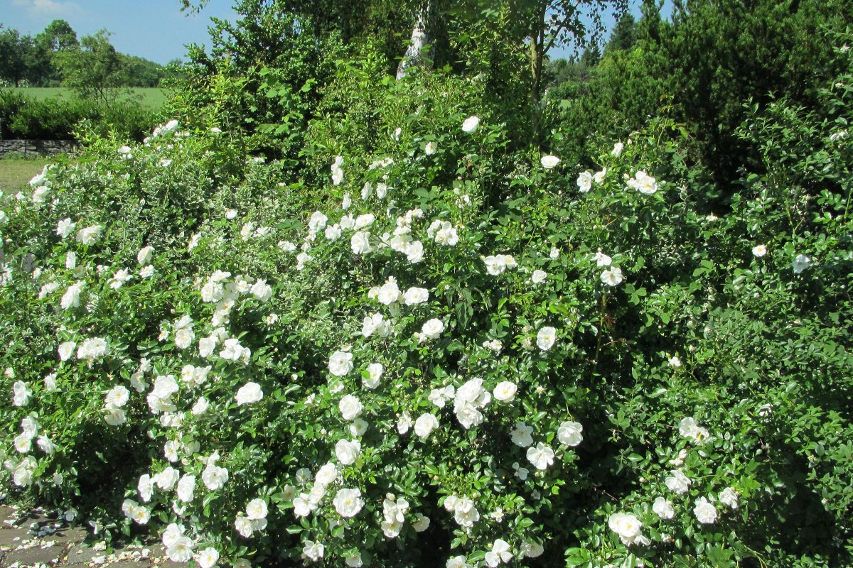 Rose Innocencia