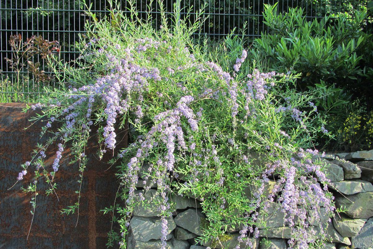 Schmetterlingsflieder Buddleja alternifolia