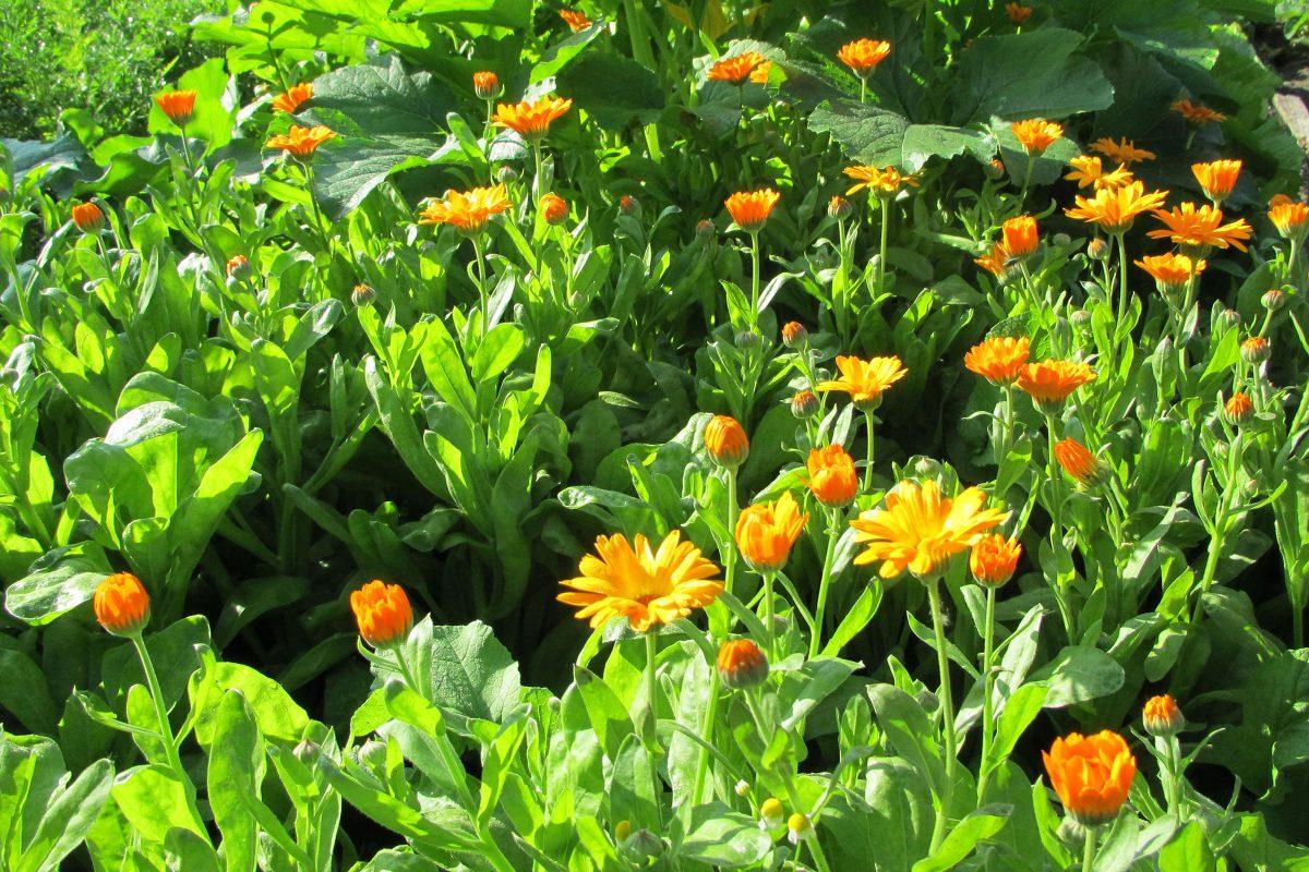 Ringelblumen im Sommer