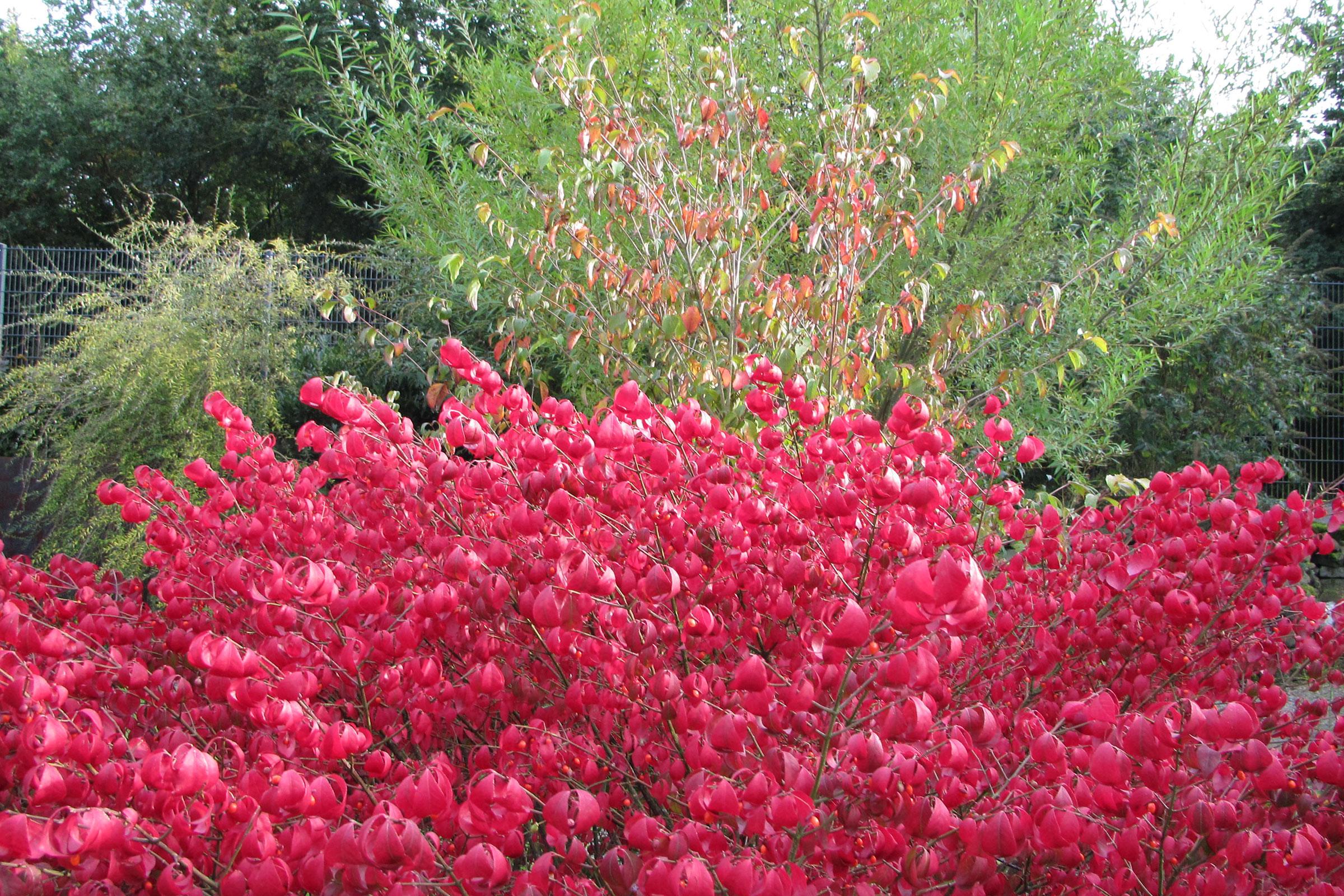 Sträucher Korkflügelstrauch und Hartriegel in Herbstfarben