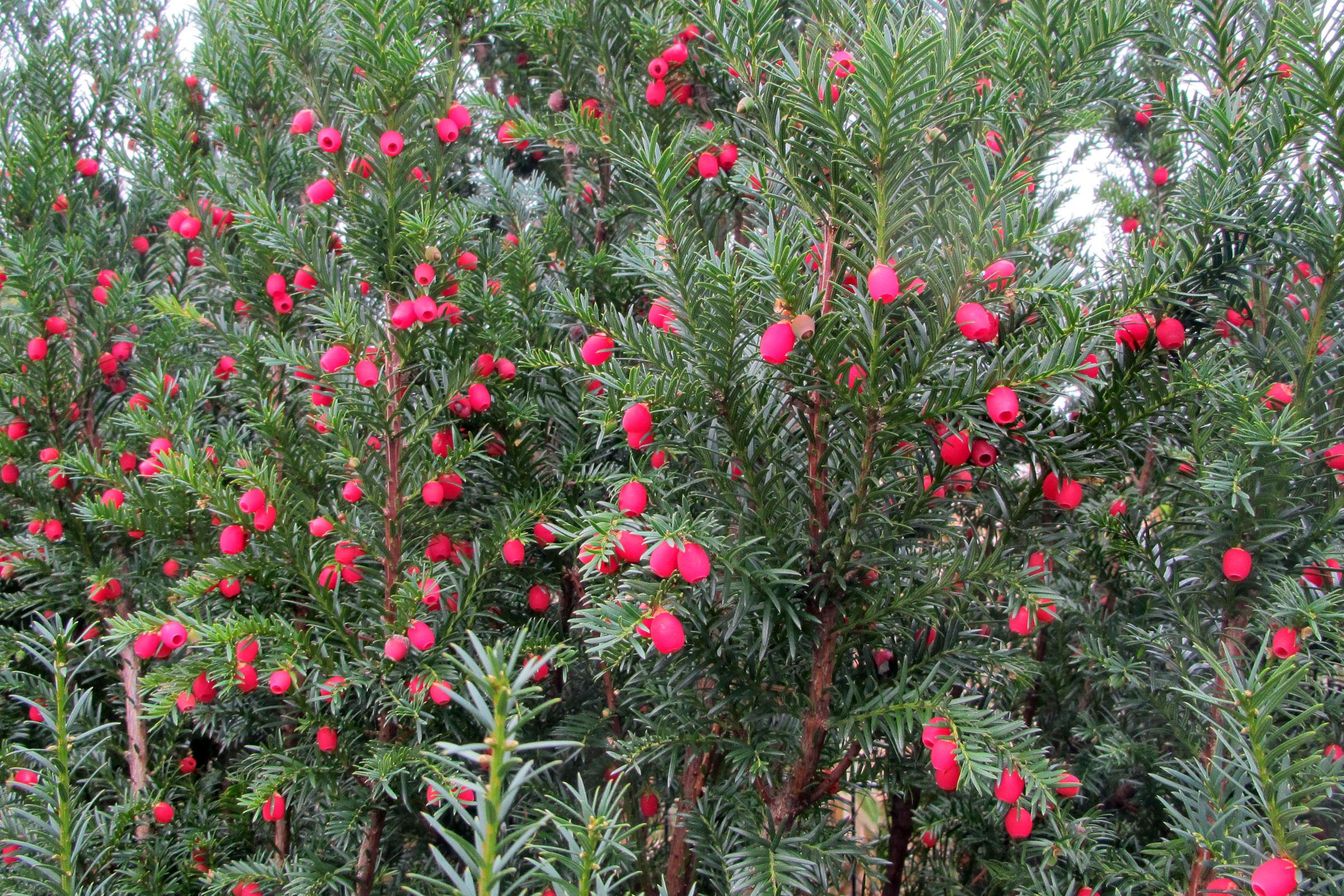 Heckenpflanze Fruchtende Eibe