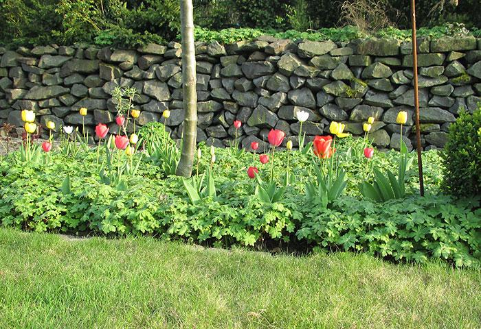 Tulpen und Storchschnabel im Frühling