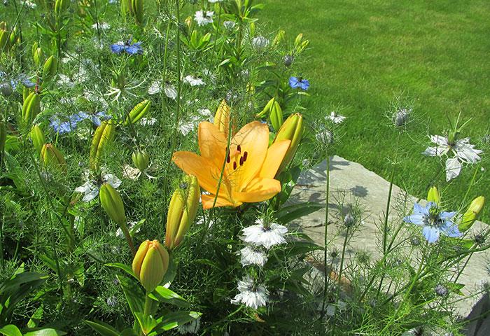Lilien und Jungfer im Grünen