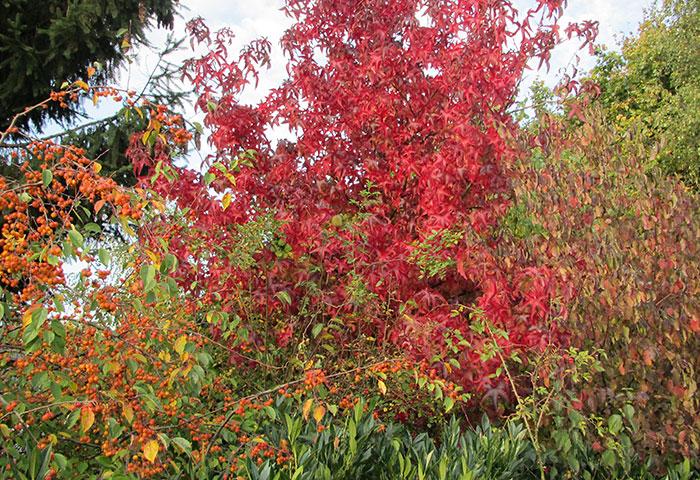 Amerikanischer Amberbaum Liquidamber Herbstfärbung