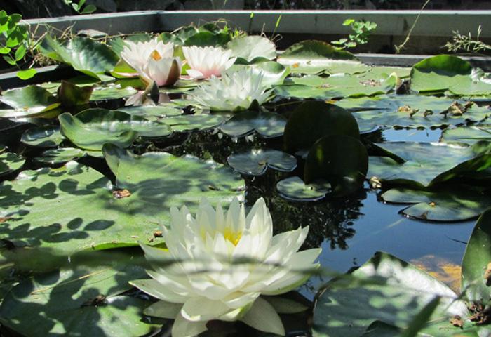 Tag der Offenen Gartenpforte Recklinghausen Seerosen