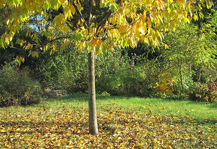 Tag der Offenen Gartenpforte Recklinghausen Kirschbaum