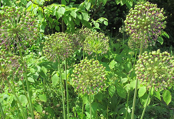 Tag der Offenen Gartenpforte Recklinghausen Allium
