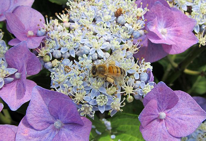 Honigbiene Bienenhort Suderwich