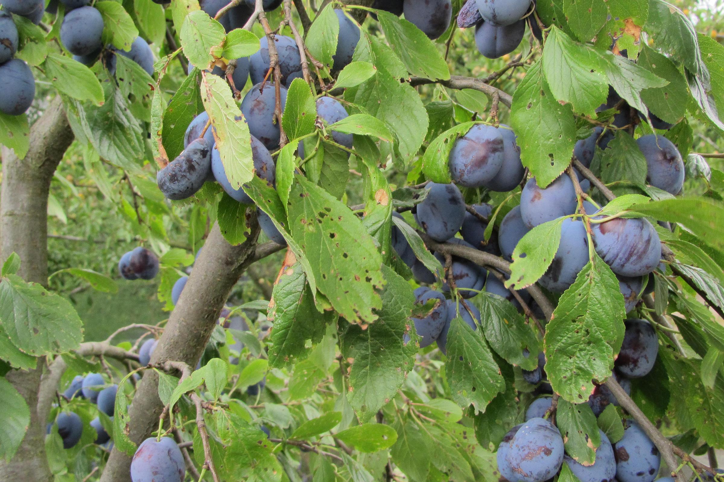 Offene Gartenpforte Recklinghausen Obst Pflaumen