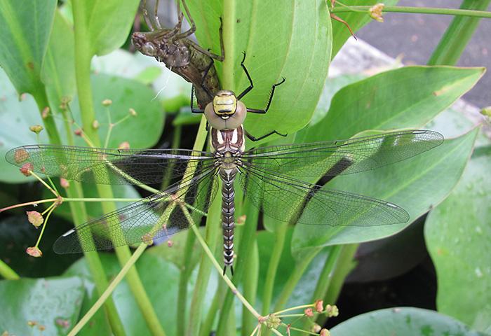 Offene Gartenpforte Recklinghausen Libelle